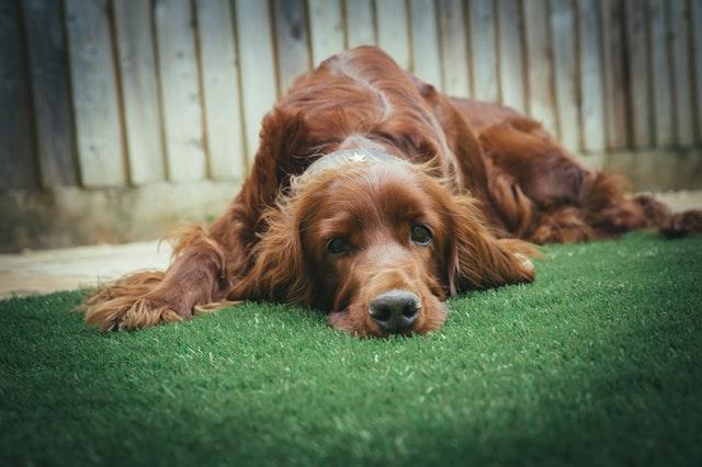 pejsek zřejmě kokršpaněl leží na trávě, za ním je vidět plot